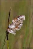 Common Cottongrass - Veenpluis - Eriophorum angustifolium