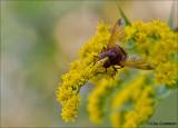 Hornet Mimic Hoverfly - Stadsreus of Hoornaarzweefvlieg - Volucella zonaria