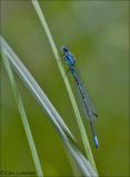 Variable Bluet - Variabele waterjuffer - Coenagrion pulchellum