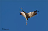 Common Crane - Kraanvogel - Grus grus