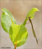 Emerald Damselfly - Gewone pantserjuffer - Lestes sponsa