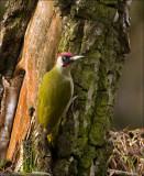 European Green Woodpecker - Groene specht - Picus viridis
