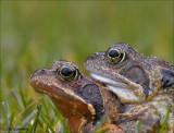 Common Frog - Bruine kikker - Rana temporaria