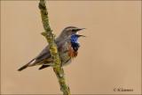 Bluethroat - Blauwborst - Luscinia svecica