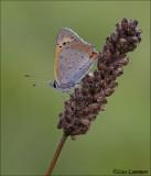 Small cooper - Kleine vuurvlinder - Lycaena phlaeas