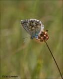 Chalhill blue - Bleekblauwtje - Polyommatus coridon