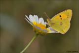 Southern Clouded Yellow - Zuidelijke luzernevlinder - Colias alfacariensis