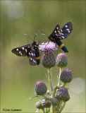 Nine-spotted - Phegeavlinder - Amata phegea