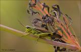 Large marsh grashopper - Moerassprinkhaan - Stethophyma grossum