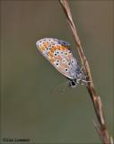 Brown argus - Bruin blauwtje - Aricia agestis