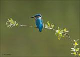 common kingfishers__ijsvogels