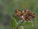 Weaver's fritillary - Paarse parelmoervlinder - Boloria dia