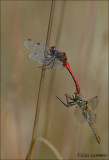 Ruddy Darter - Bloedrode heidelibel - Sympetrum sanquineum