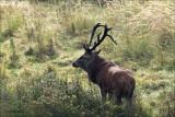 Red deer -Edelhert - Cervus elaphus