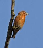 Parrot Crossbill  - Grote Kruisbek - Loxia pytyopsittacus