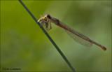 Small Red Damselfly - Koraaljuffer - Ceriagrion tenellum