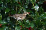 Redwing - Koperwiek - Turdus iliacus