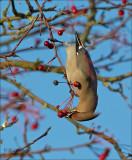Bohemian Waxwing - Pestvogel - Bombycilla garrulus