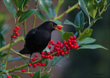 Common Blackbird - Merel - Turdus merula