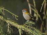 Common Firecrest - Vuurgoudhaan - Regulus ignicapilla