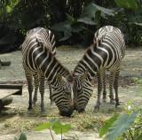 Zebras_at_Singapore_ZooDSC_3245.jpg