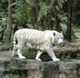 White_Tiger_Singapore_ZooDSC_3219.jpg