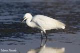 Little Egret (Garzetta)