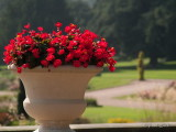 Red Flowers in Urn