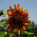 Sunflower in the shade