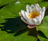 13-05 Water Lilies-1.jpg