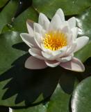 13-05 Water Lilies-2.jpg
