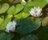13-05 Water Lilies-5.jpg