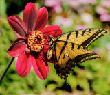 14-08 Western Tiger Swallowtail on Dahlia -1-2.jpg