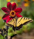 14-08 Western Tiger Swallowtail on Dahlia.jpg
