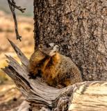 15-08 Marmot (Murmeltier).jpg
