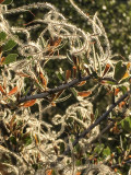Blooming mountain mahogany.jpg