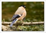Goudvink - Pyrrhula pyrrhula - Eurasian Bullfinch