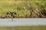 Afrikaanse Slangenhalsvogel - Anhinga rufa - African Darter