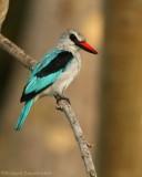 Teugelijsvogel - Blue-breasted Kingfisher
