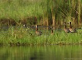 Witwangfluiteend    -  White-faced Whistling Duck