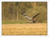 Diepholz - Cranes