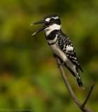 Bonte IJsvogel - Ceryle rudis - Pied Kingfisher