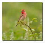 Roodmus - Carpodacus erythrinus - Scarlet Rosefinch