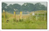 Witwangstern - Chlidonias hybrida - Whiskered Tern