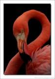 Caribische Flamingo    -    Phoenicopterus ruber    -    American Flamingo