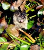 California River Otter
