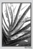 Aloe Vera2.jpg