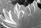 Sunlit petals.jpg