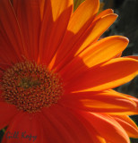 Sunlit petals2.jpg