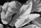 BW spring leaves2.jpg